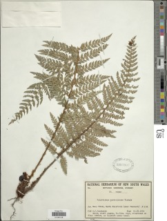 Image of Polystichum australiense