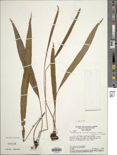 Image of Elaphoglossum actinotrichum