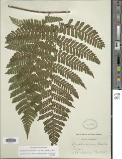 Megalastrum caribaeum image