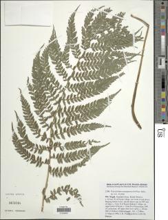 Image of Polystichum annapurnicola