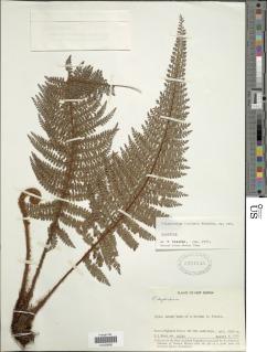 Image of Polystichum bamlerianum