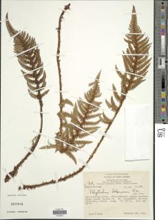 Image of Polystichum bolanicum