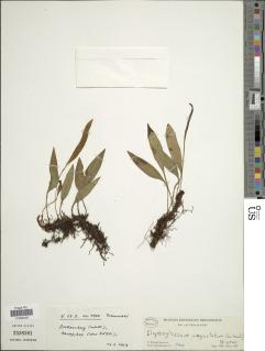 Image of Elaphoglossum angustatum