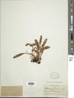 Image of Elaphoglossum angustum