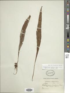 Image of Elaphoglossum alpinum