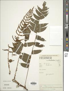 Lomariopsis hederacea image