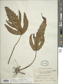 Tectaria stalactica image
