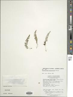 Image of Polystichum capillipes