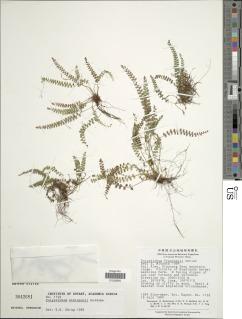 Image of Polystichum atkinsonii