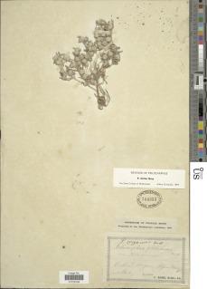 Psilocarphus elatior image