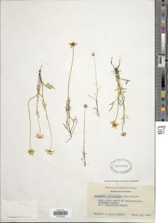 Leptosyne stillmanii image