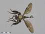 Lasiocnemus lugens Loew, 1858