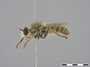 Amphisbetetus favillaceus Loew, 1856