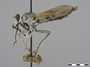 Stichopogon trifasciatus Say, 1823