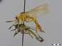 Diogmites neoternatus (Bromley, 1931)