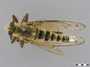 Promachus rufipes (Fabricius, 1775)