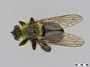 Laphria affinis Macquart, 1855