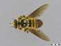 Laphria sp.