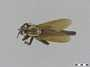 Stenopogon aeacidinus Williston, 1886