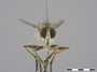 Afromochtherus mendax Tsacas, 1969