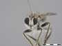 Stiphrolamyra diaxantha Hermann, 1907