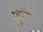 Laphystotes ariel Londt, 2004