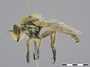 Sporadothrix gracilis Hermann, 1907