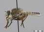 Promachus amastrus Walker, 1849