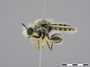 Laxenecera mollis Loew, 1857