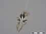 Neolophonotus akites Londt, 1985