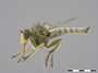 Neolophonotus chionthrix Hull, 1967