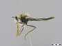 Scleropogon duncani Bromley, 1937