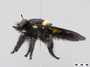 Hyperechia nigripennis Wiedemann, 1830
