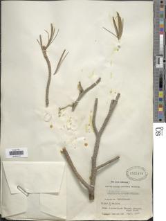 Pinus flexilis image