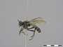 Atoniomyia ancylocera Schiner, 1868