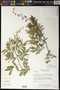Mimosa hexandra Micheli