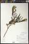 Leucaena leucocephala (Lam.) de Wit