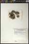 Pertusaria acroscyphoides image
