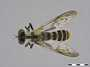 Heteropogon dorothyae Martin, 1962