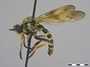 Heteropogon willistoni Martin, 1962