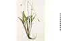 Image of Ribwort Plantain