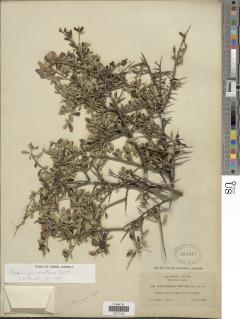 Pickeringia montana image