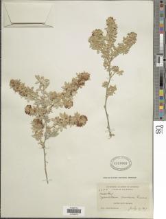 Acmispon argophyllus var. niveus image