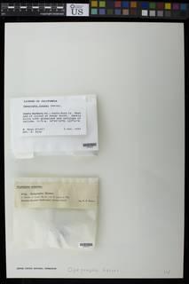 Lecanographa hypothallina image