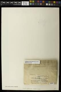 Ophioparma rubricosa image