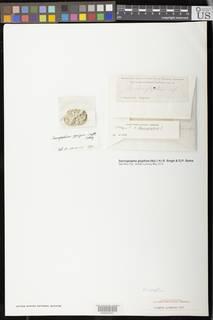 Image of Sarcographa glyphiza