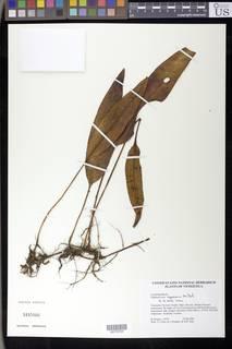 Image of Elaphoglossum appressum