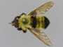 Laphria thoracica Fabricius, 1805
