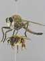 Proctacanthus nearno Martin, 1962