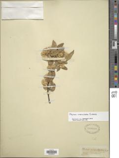 Ptelea crenulata image